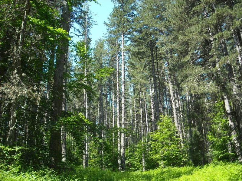 Cotronei bosco