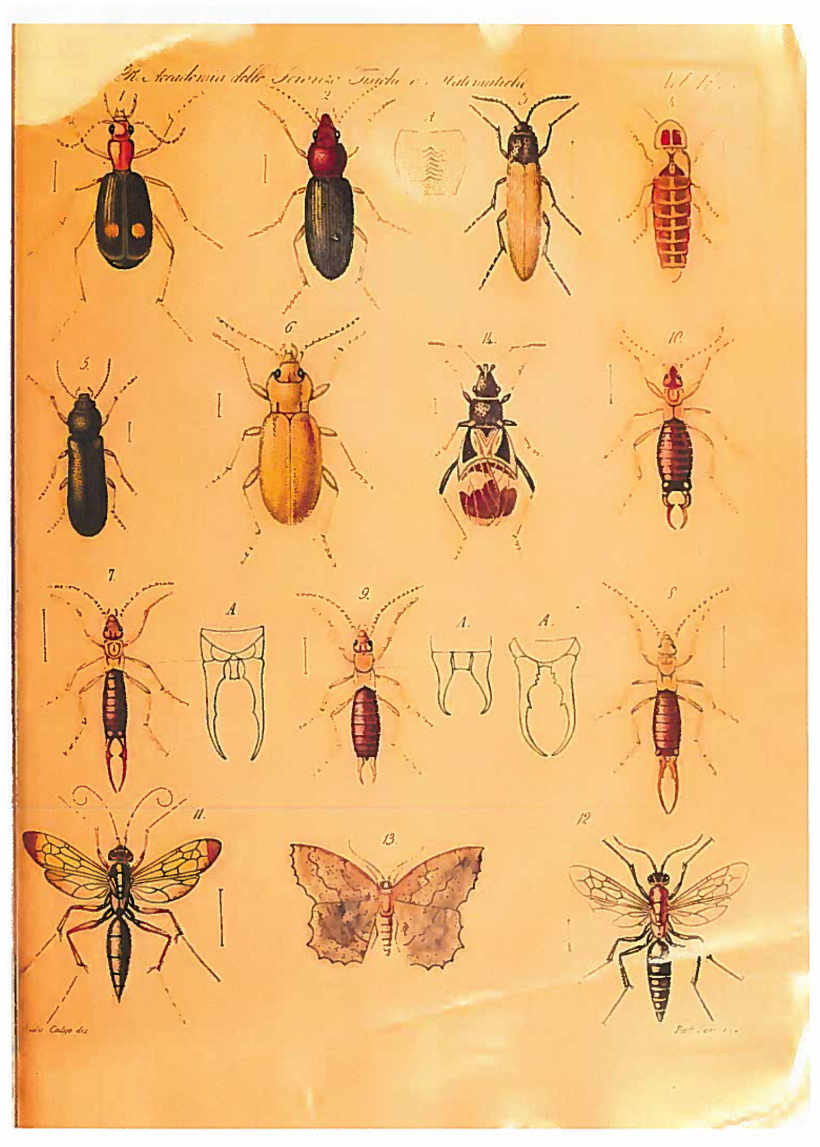 entomologo tavola insetti